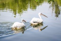 Пара большого белого onocrotalus Pelecanus пеликана или пеликана Далматина плавая на воду на пруде Стоковая Фотография