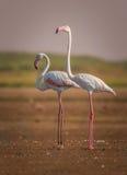 Пара большой птицы фламинго Стоковая Фотография