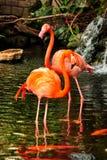 2 представляя фламингоа Стоковое Изображение