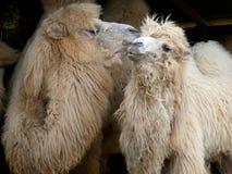Пара верблюдов прихорашиваясь один другого на парке сафари Longleat, Англии стоковые изображения rf