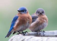 Пара восточных синих птиц Стоковые Изображения