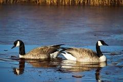 Пара гнездиться канадских гусынь Стоковое Фото