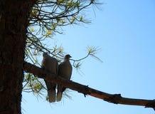 Пара голубей на сосне разветвляет стоковая фотография rf