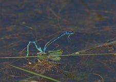 Пара голубого дракона летает сопрягать на водоросли - Anisoptera Стоковая Фотография RF