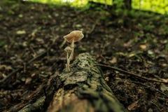 Пара грибков на ветви Стоковое Изображение