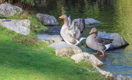 Пара гусынь Greylag около пруда Стоковые Фотографии RF