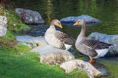 Пара гусынь Greylag около пруда Стоковые Фото