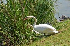 Пара лебедей подготавливает гнездо Стоковое Изображение