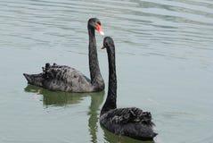 Пара лебедей Стоковое Изображение RF