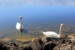 Пара лебедей стоковая фотография