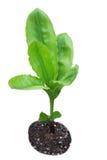 Параллельные листья Venation Стоковые Фото