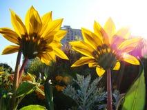 Пара желтых цветков на flowerbed города Стоковые Изображения