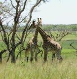 Пара жирафа в африканском кусте Стоковое Фото