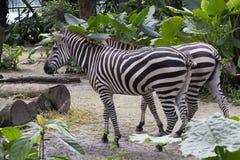 Пара зебр Стоковая Фотография