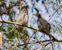 Пара индийских серых птиц-носорог Стоковые Фото