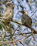 Пара индийских серых птиц-носорог Стоковое фото RF