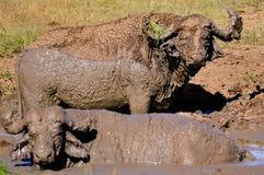 Пара индийского буйвола в грязи Стоковая Фотография RF