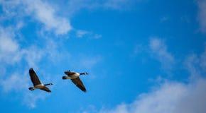 Пара канадских гусынь в полете Стоковая Фотография