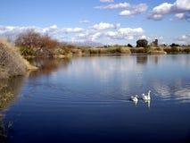 Пара канадских гусынь и их отражения на озере Riparian стоковое фото rf