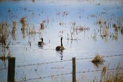 Пара канадских гусынь плавая на водоналивном поле Стоковые Фото