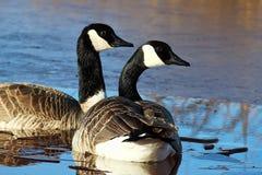 Пара канадских гусынь плавая на льде покрыла пруд Стоковые Изображения