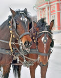 Пара конца-вверх лошадей залива Стоковые Фото
