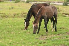 Лошади Брайна пася Стоковая Фотография RF
