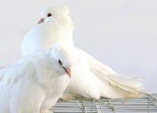 Пара красивейшего голубя стоковое фото