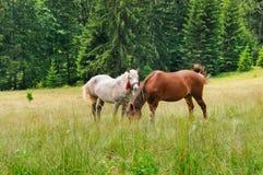 Пара красивых лошадей пасет в луге леса Стоковое Изображение