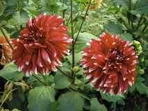 Пара красного и белого bicolored георгина Стоковое Фото