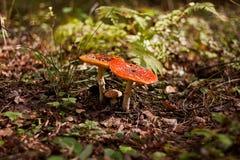 Пара красного пластинчатого гриба мухы Стоковые Фото