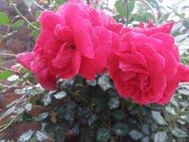 Пара красной розы с символом влюбленности стоковое фото rf
