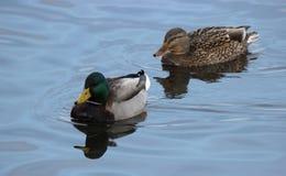Пара кряквы Ducks плавать совместно Стоковая Фотография