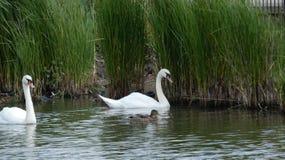 Пара лебедей наслаждаясь святилищем в любов навсегда 1 стоковая фотография