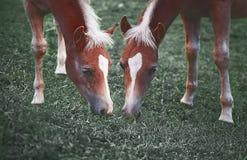Пара лошадей в расчистке есть траву Стоковое Изображение RF