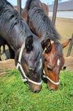 Пара лошадей ест зеленую траву от кормушки Стоковое Изображение RF