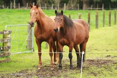 Пара лошадей, одного каштана и одного залива, стоящей стороны - мимо - сторона Стоковые Фото