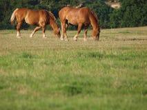 Пара лошадей пася Стоковые Фото
