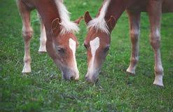 Пара лошадей подавая на траве на зеленой лужайке Стоковая Фотография