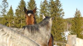 Пара лошадей показывая привязанность Белая и коричневая лошадь прижимаясь Стоковые Изображения