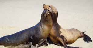 Пара морских львов стоковое фото