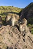 Пара обезьян в открытой природе, взгляде после одина другого На Vulcan Batur Бали Высота 2000 метров выше уровень моря _ Стоковые Фото