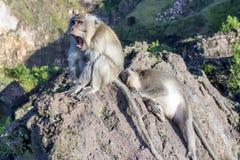 Пара обезьян в открытой природе, взгляде после одина другого На Vulcan Batur Бали Высота 2000 метров выше уровень моря _ Стоковые Изображения
