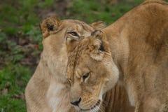 Пара одина другого приветствию львицы Barbary Стоковые Изображения RF