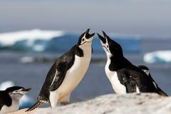 Пара одина другого приветствию antarcticus Pygoscelis пингвинов chinstrap с сопрягая дисплеем, Антарктикой стоковая фотография