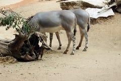 Пара лошадей Стоковое Изображение