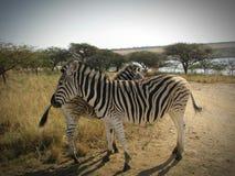 Пара одичалой зебры в заповеднике Стоковое Изображение