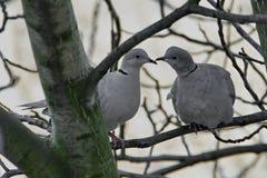 Пара одичалых голубей сидя на ветви Стоковые Фото