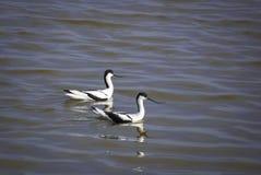 Пара пестрых Avocets плавая совместно на озере Стоковое Фото