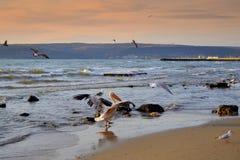 Парад пеликана на пляже Стоковое Изображение RF